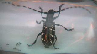 Asian long horn beetle_20111102164155_JPG