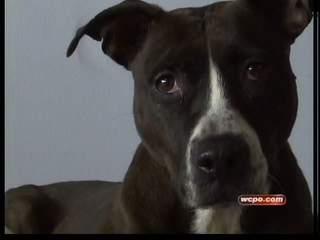 Pit bull laws may change