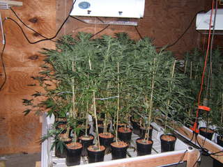 Marijuana grow room_20120716144051_JPG