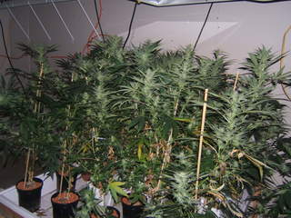 Marijuana grow room_20120716144046_JPG