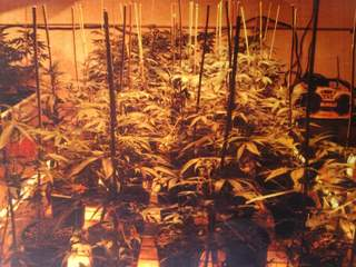 Marijuana plants that were discovered in Norwood and Blue Ash homes_20120716125319_JPG