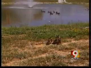 Baby ducks rescued from drain