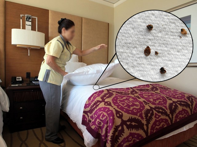 This Is A Photo Ilration Of Bed Bugs Inhabiting Hotel Room Getty Images