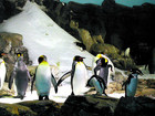 Robotic chick spies on shy penguins