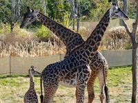 Cincinnati Zoo giraffe expecting another baby