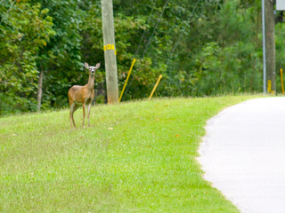 Experts: More deer locally means more accidents