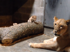 VIDEO: 3 new lion cubs at Cincy zoo growing fast
