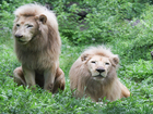 Aging African white lion at Cincy zoo euthanized