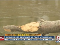 Much gnawing of teeth in Mason over beaver