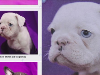 Online dog 'breeders' scamming thousands