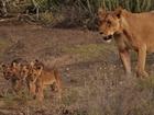 Saving lions, from Cincinnati to Kenya and back