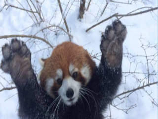 WATCH: OMG! Cincy zoo red pandas play in snow