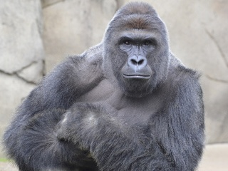 Over 32K signatures on 'Harambe's Law' petition