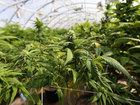 Weed Revolution: The race for marijuana in Ohio