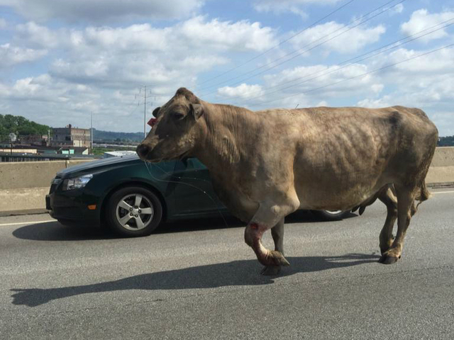 Cow gets loose, takes to streets on west side