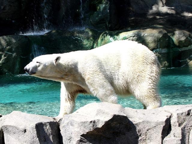 WCPO_polar_bear_1433367013113_19167382_ver1.0_640_480.jpg