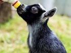 How pet goats led to lucrative soap business