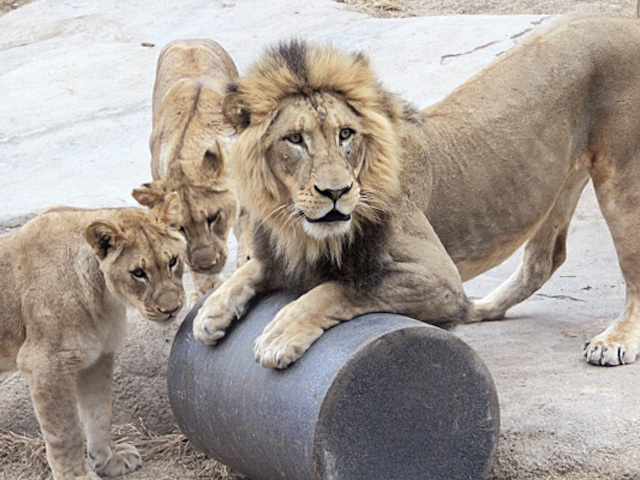 Cincinnati Zoo's Super Bowl 50 picks are in