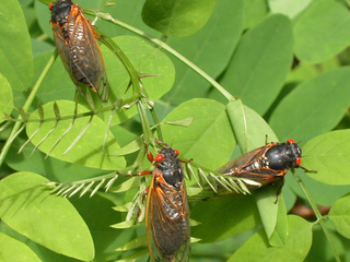 Cicadas will emerge in Greater Cincy this year