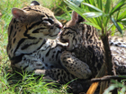 Cincinnati Zoo breeding lots o' ocelots