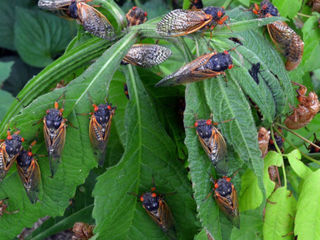 VIDEO: Remember the Cicada invasion of 2004?