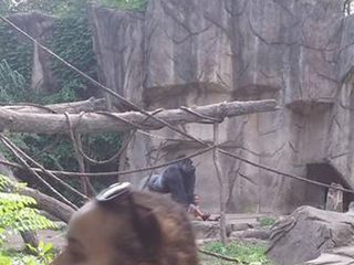 Woman tried to stop boy who fell in gorilla moat
