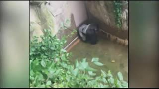 Child falls into Gorilla zoo enclosure in Ohio