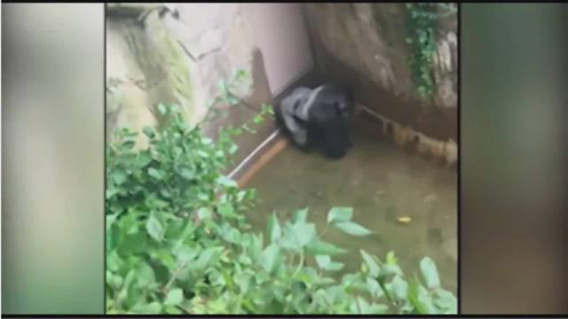 Gorilla grabs child who's fallen into habitat