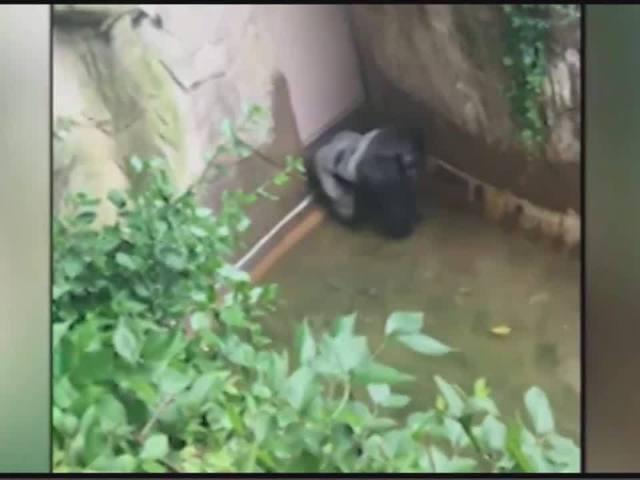 Harambe, a 400 pound Gorilla, grabs child who's fallen into habitat at…