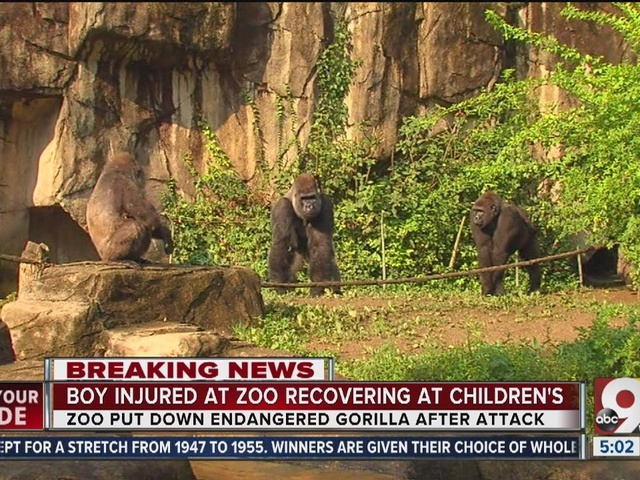 Child dragged by gorilla recovering at Children's