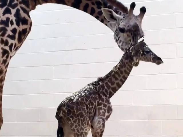 Baby giraffe born to first-time mom at Cincinnati Zoo