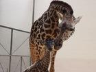 WATCH: Baby giraffe tries to walk at Ohio zoo