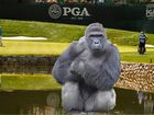 Harambe gets a shoutout at PGA Championship