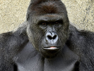 Harambe's death marked unceremoniously at zoo