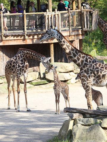 Cincinnati Zoo S New Baby Giraffe Makes Public Debut Gallery