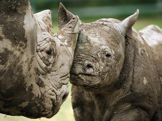 Cincinnati Zoo Announces Black Rhinoceros Seyia Is