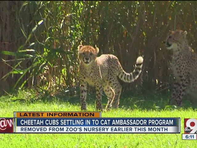 Cheetah cubs settling in to Cat Ambassador program