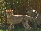 Cheetah cubs settling in at the Cincinnati Zoo
