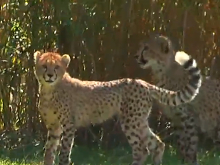 Cheetah cubs settling in at the Cincinnati Zoo
