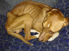 Emaciated dog, unable to recover, is euthanized