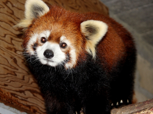 The Cincinnati Zoo S Beilei Is Settling Into Her Digs At Red Panda Retirement Home