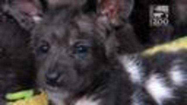 CZBG Painted Dog Pups-mp4