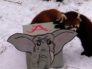 Zoo's red pandas vote Crimson Tide for champs