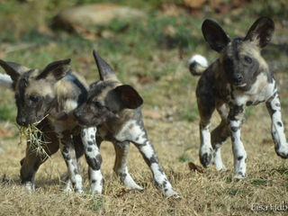 Painted dogs create colorful, complex zoo pack