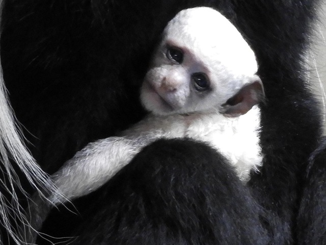 Guereza colobus monkey is Cincinnati Zoo-s first baby of 2017
