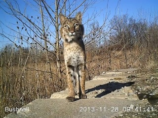 Bobcats? In Greater Cincinnati? Yes there are
