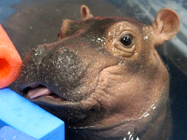Fiona the hippo beats the odds at 3 months old