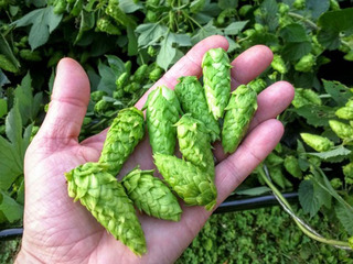 Local hops farmers are suddenly very popular