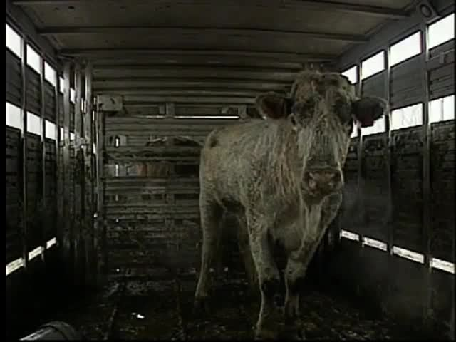 Runaway cow captured but not without a fight