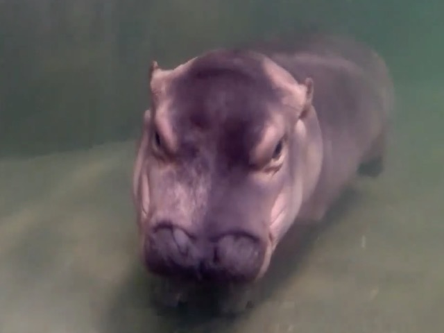 Fiona does her best hippo ballet moves